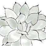 多肉植物のアガベ吉祥天