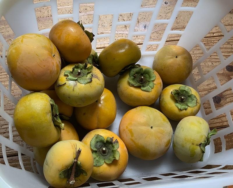 実家の柿の実